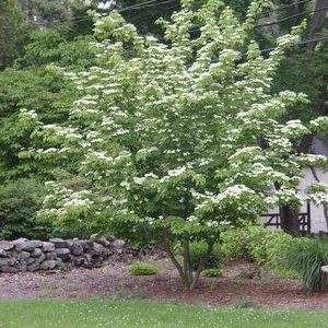 Cornus kousa flowering Dogwood tree
